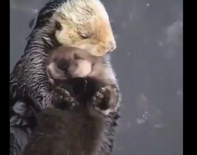 【親子】ラッコのお母さん「ひとときも離したくないほど可愛い!」