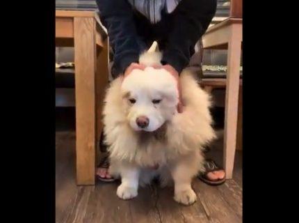 【激写】クマみたいな犬が「ライオン」に変身する瞬間を捉えた!