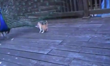 【怖いもの知らず】孔雀の「全力威嚇」を全く意に介さない子猫ちゃんが話題に!