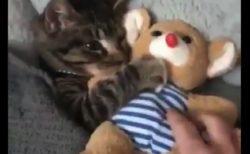 【最強】お気に入りの「ぬいぐるみがないと眠れない猫ちゃんが可愛すぎる!