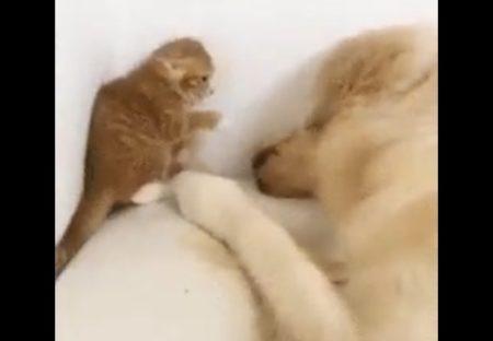 【犬と猫】子猫「やめてやめてこないで」ペチペチ!の状態から心を開くまでの過程。泣けてしまう・・