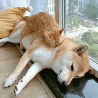 【必見動画!】猫がくっついたら動いちゃダメってルール わんちゃんもわかってた