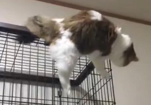 【笑】ものすごく猫らしくない猫ちゃん。高い所からおそるおそる・・可愛いすぎ!