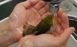 【動画】手のひらで作ったくぼみで水浴びするメジロがものすごくかわいい!メジロも懐くのか