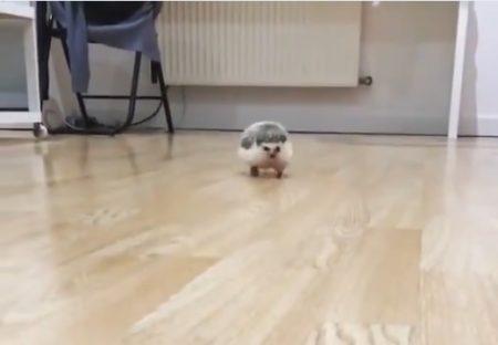 【動画】ハリネズミがこっちにダッシュしてくる様子がめちゃくちゃ可愛い!