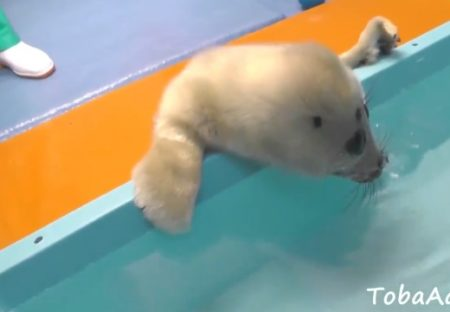 【動画】休園中の水族館、お風呂で水に入る訓練をするアザラシの赤ちゃんが激かわ!