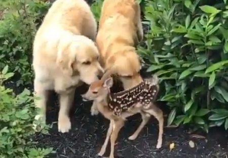 【笑】バンビに興味津々のゴールデンレトリバー2匹。みんな可愛い!