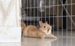 【激かわ】赤ちゃんうさぎが大あくびする瞬間の動画が話題「ぺたんってなってる!」
