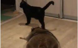 【そーっと】猫に気づかれないように‥のそりのそり近づくアライグマが可愛い!