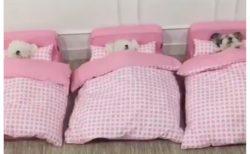 【動画】子犬たちがピンクのベッドで並んで就寝・・・なんだこの可愛さは!