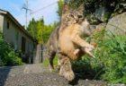 【笑】「捕まっちゃった」母ねこに運ばれるしょんぼり子猫、子猫を運ぶ貫録母ねこ。どっちも可愛い!