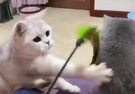 【?!】「わざとじゃないのに・・」白ねこ、怒涛の猫パンチラッシュを浴びてしまう