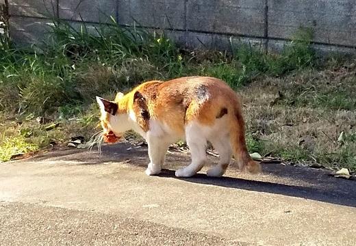 【5年】ずっと家の周りに花を届けてくれる野良猫さん。運んでるところに初遭遇した