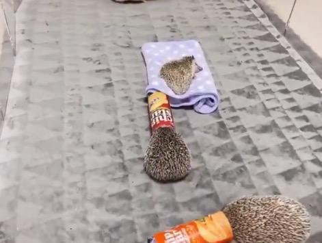 【遊び】チップスターの容器にハマるハリネズミたちが可愛すぎる!