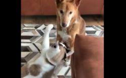 【乙女】大好きな犬くんにちょっかいを出す猫ちゃん!