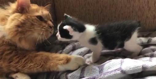 【親子】お母さんに甘えたい子猫ちゃん。なんとも微笑ましい!