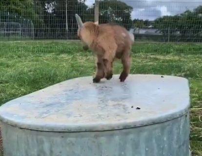 【リズム感】音に合わせて「思わず踊る」ヤギの赤ちゃんが最高!