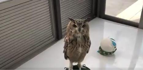 【ホホー】フクロウと話すには「フクロウ語」が必要です!