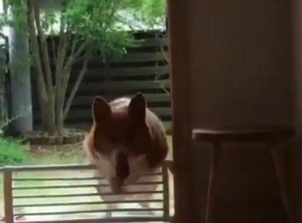 コーギーの可愛さを「凝縮」した動画をご覧ください!