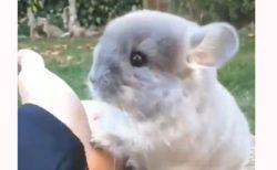 【動画】人になついているチンチラの赤ちゃんが可愛すぎると話題「お手してる」