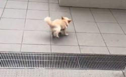 【動画】FC東京 三田選手のベティちゃん。側溝がこわくて‥後ろ向いてバックステップからの勇気だしてジャンプ!