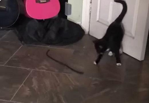 【笑】紐と戦うねこさんの動画が話題「二足歩行できちゃうんだ?!」