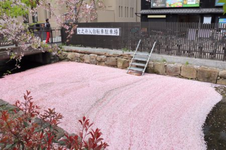 【花筏】川に散りばめられた「桜の絨毯」が美しすぎる!
