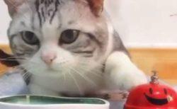 【動画】ベルを鳴らすとごはんが出てくる事を理解した美人猫が話題「押す手もかわいい!」