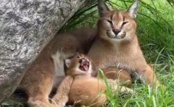 【美人親子】お母さんのあくびにつられて大あくび!カラカルの親子が話題