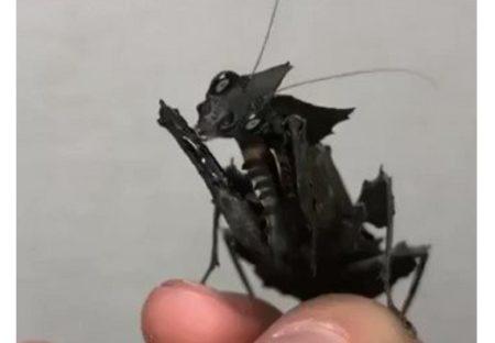 【カマキリの魔王】珍しい 黒いカマキリ が話題「かっこいい」「初めて見た!」