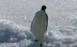 【笑】ルンルンご機嫌に歩くペンギンさん・・ボチャン!