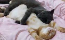 【動画】抱き合って眠る2匹のねこが話題「世界一かわいい抱き枕」