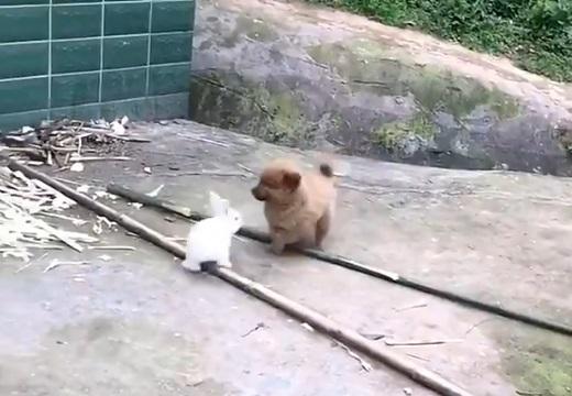 【最強コンビ】うさぎと子犬が仲良く遊んでる動画が話題