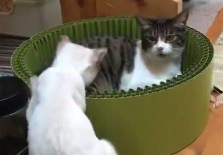 【笑】ニャー!猫パンチされた白猫くんのオーバーリアクションがコントみたい