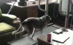 【笑】ランニングマシンで駆け回る犬とやる気のない犬の動画が話題「あくび!」