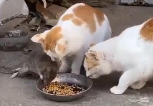 【笑】食事中のねこさん。とつぜん隣で食べ始めるネズミに困惑し・・・
