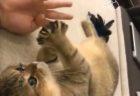"""【おもちゃ】猫の """"頭の良さ"""" がしっかりとわかる映像。これは難しい!"""