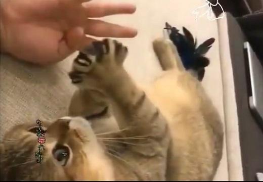 【動画】グー、パーが得意なねこちゃんが話題「パーが可愛すぎる」