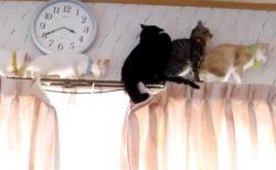 【笑】カーテンレールで大渋滞しちゃってる猫たちの動画が話題
