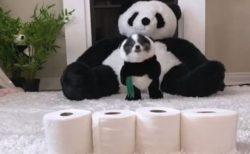 【びっくり】パンダの着ぐるみ着た犬が楽しそうにダッシュしてくる動画が話題「パンダだと思った!」