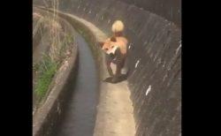 走り方の「癖」が凄いことになってる柴犬くんがかわいすぎる!