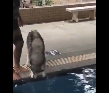 ハスキー君、はじめての「水泳訓練」にビクビク!