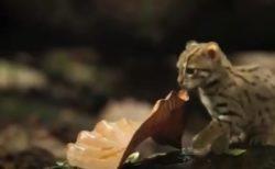 世界最小のネコ科動物「サビイロネコ」が可愛すぎる!