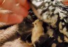 ニワトリママの翼の中には…可愛い「ヒヨコ」が格納されていました!
