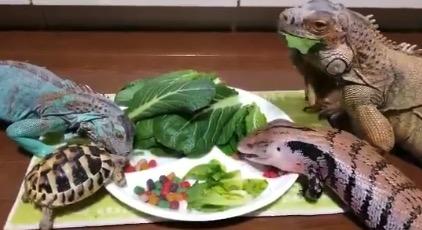 草食系トカゲたちのお食事会。邪魔されて怒ってる子もいるようです・・・
