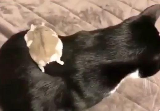 【仲良し】猫の背中を滑って遊ぶハムスター! 猫の反応も可愛い