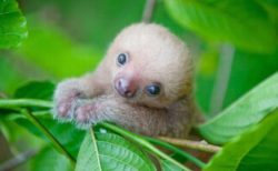 【驚異の可愛さ】ナマケモノの赤ちゃんを見たことがありますか?
