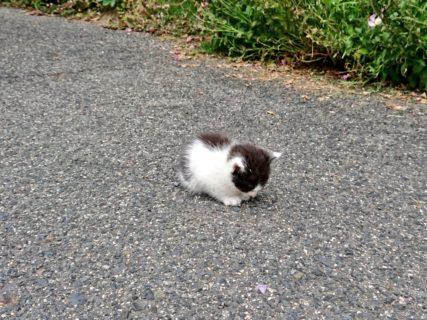 【子猫】道路のど真ん中で「ちっちゃい毛玉」が落ちてました。