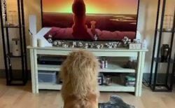 【笑】ライオンキングになりきってる犬が話題。すっごく嬉しそう!