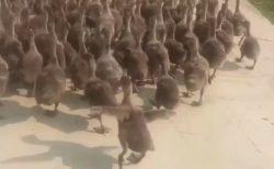 【鳥】めちゃくちゃ仕切ってるボス鳥の動画が話題「牧羊犬みたい(笑)」